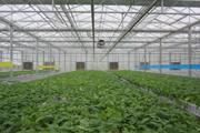 potato minituber plants in greenhouse