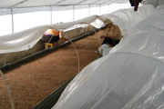 potato microplant transfer