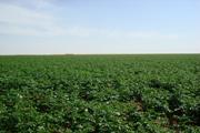 potato planting field