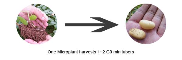 potato microplants