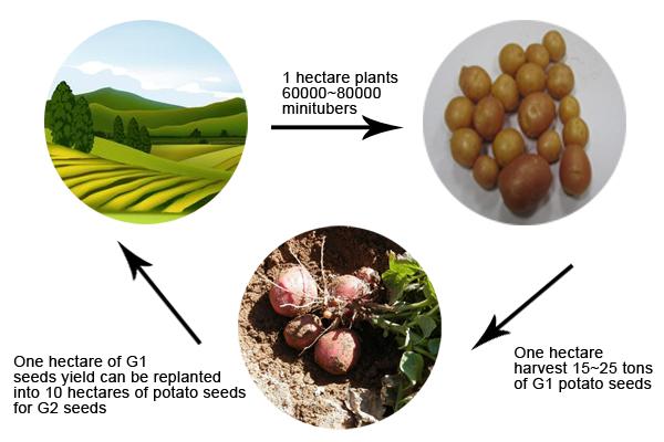 potato minituber yield calculation