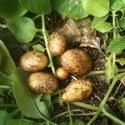 potato minituber before harvest