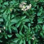 Shepody plant